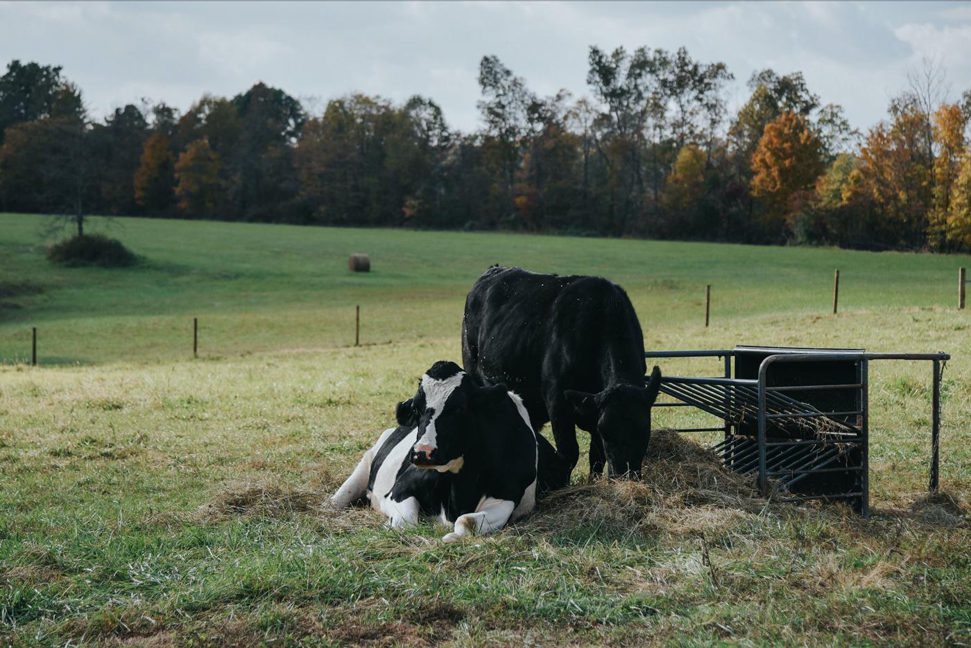 header_cows