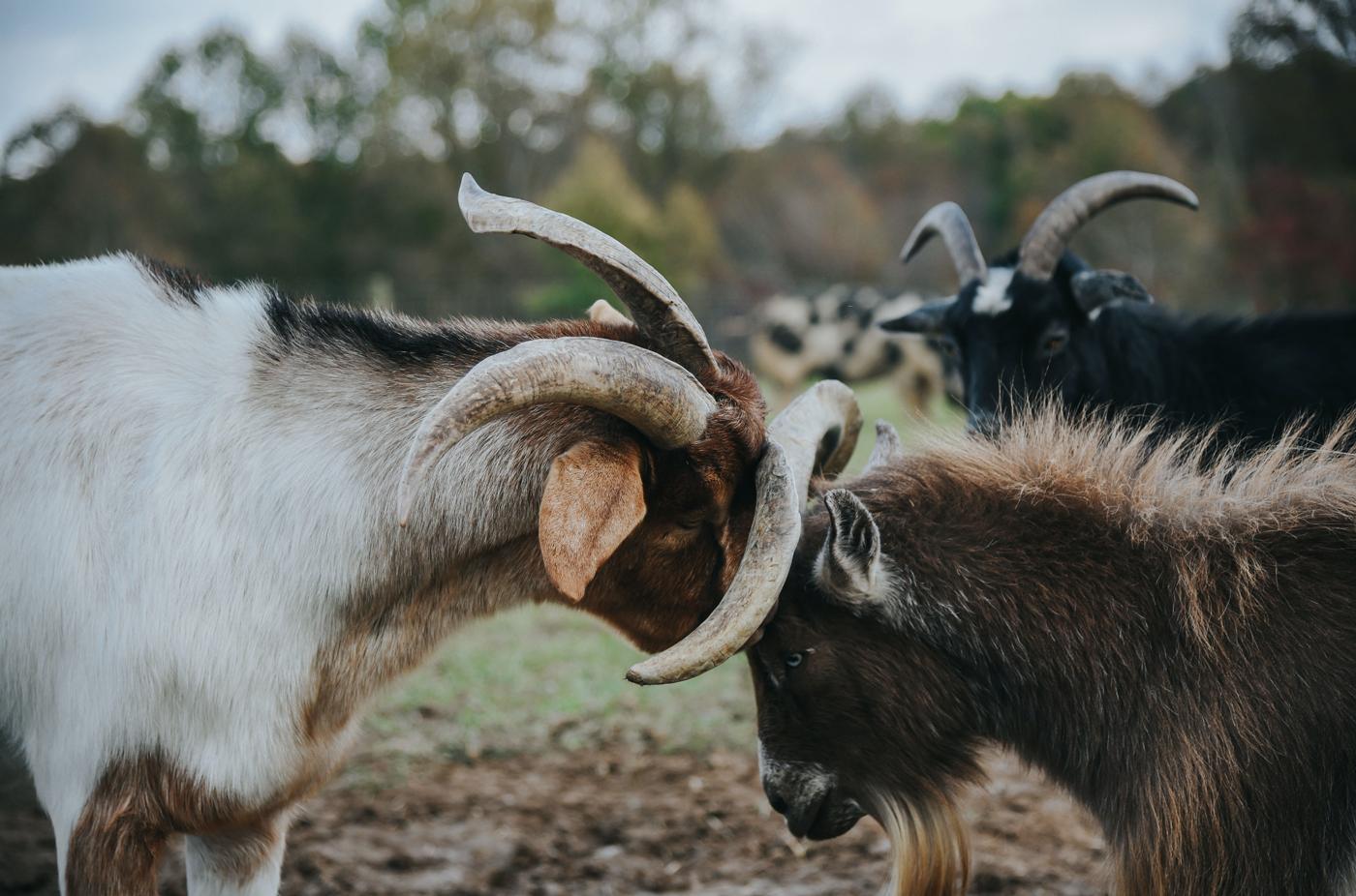 header_goats